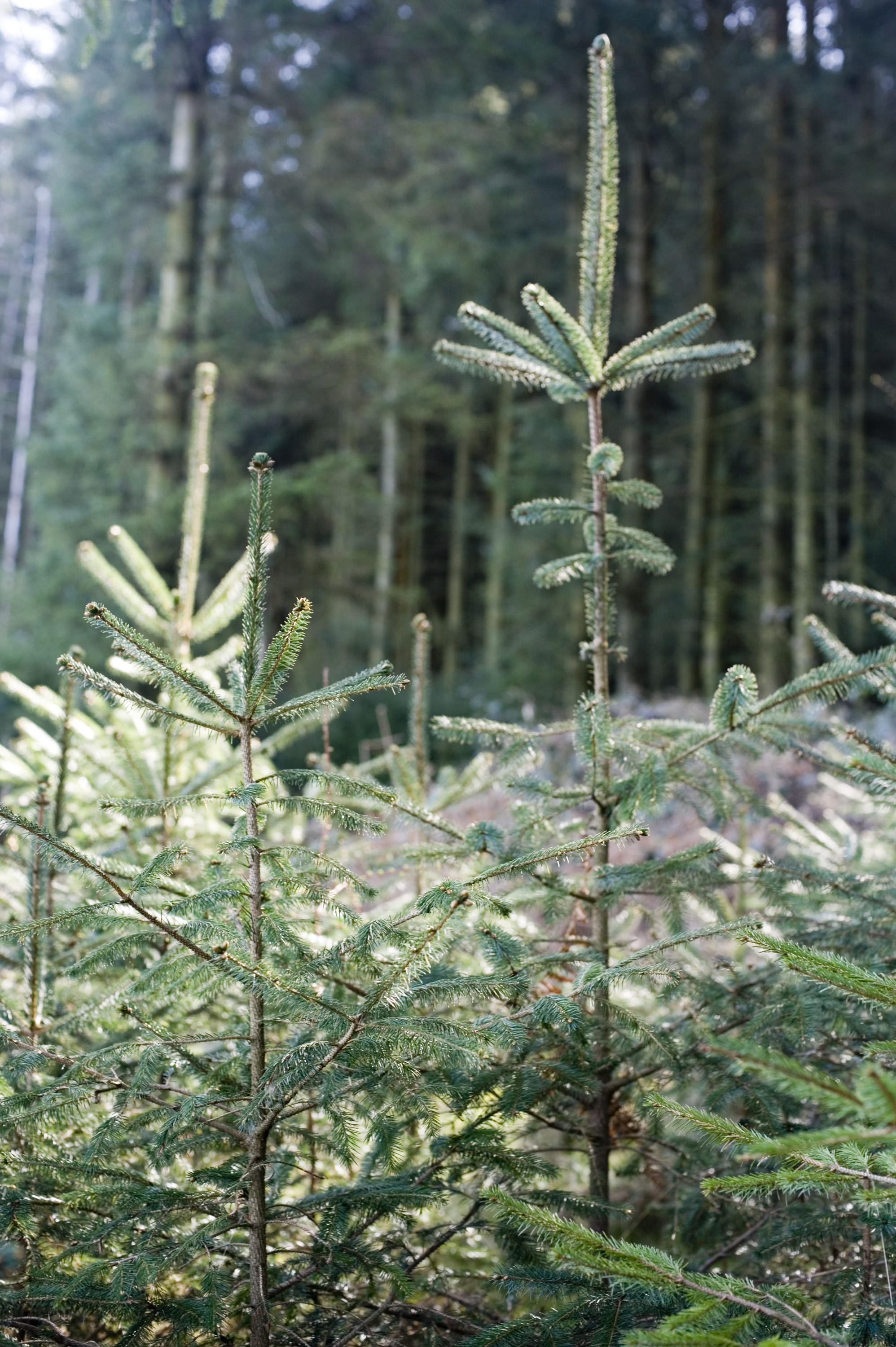 small pine trees growing in a forest plantation