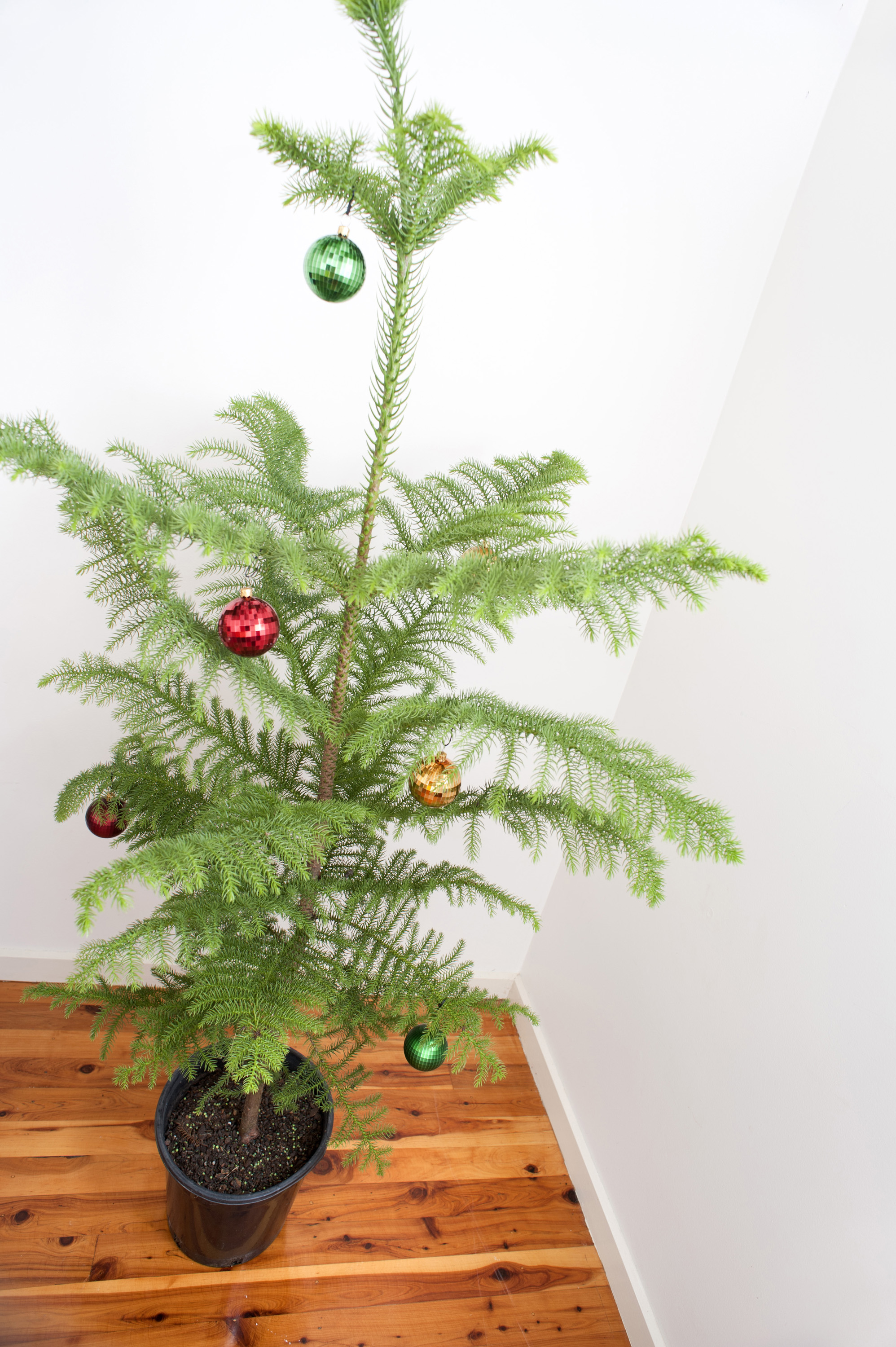 Simple Christmas tree with minimal coloured shiny baubles hanging on the branches of a small dainty natural pine tree on a plain hardwood floor