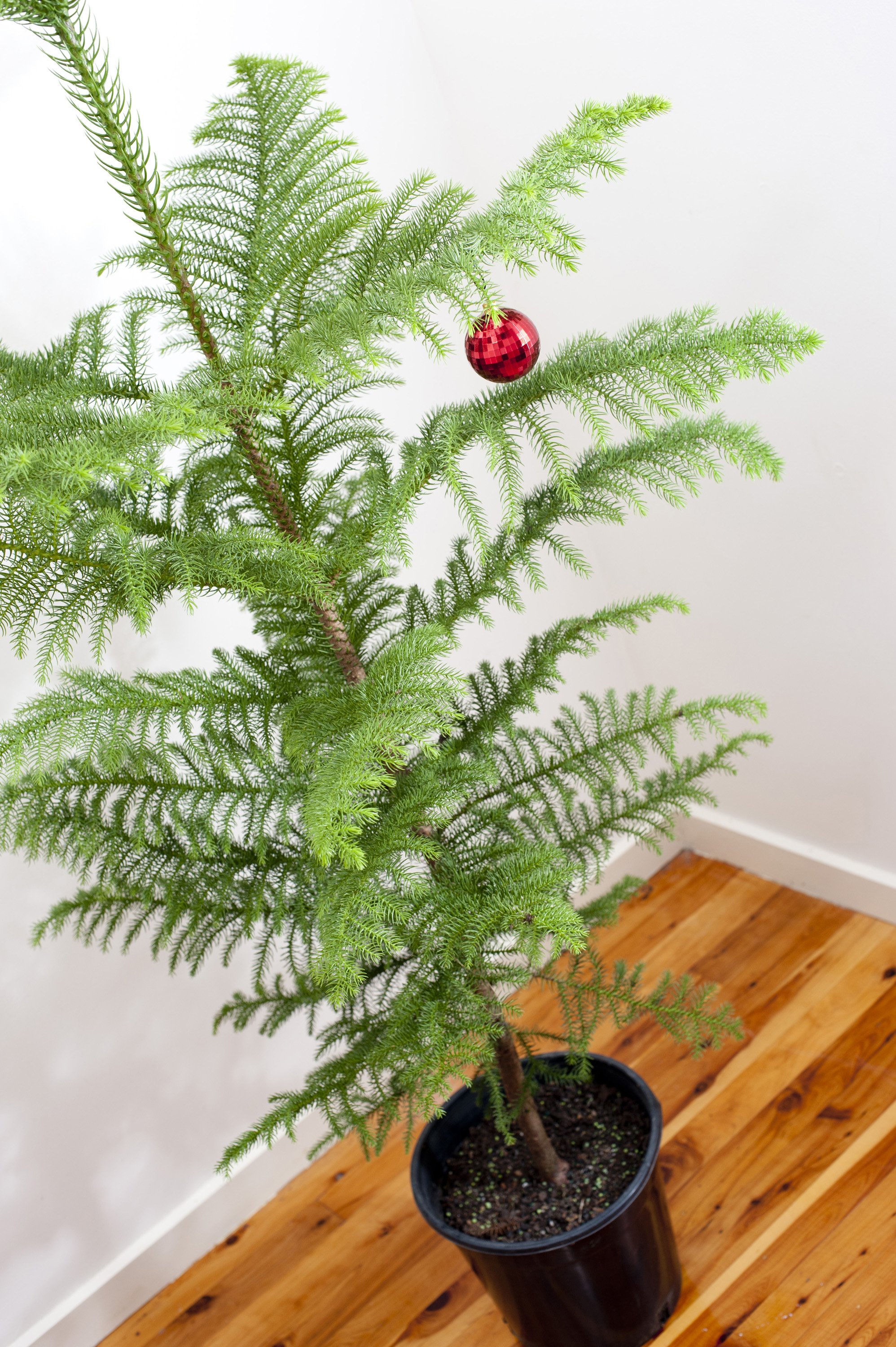 Sparsely decorated Christmas tree with a single red bauble decoration hanging from its branches, high angle view of a natural evergreen potted pine