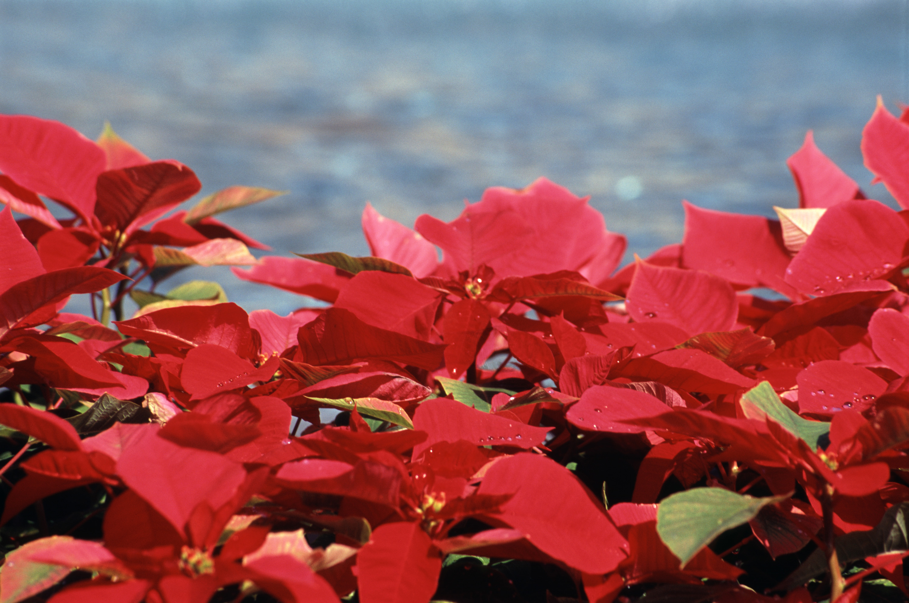 a colorful display of poinsettia plants with their distinctive red winter leaves