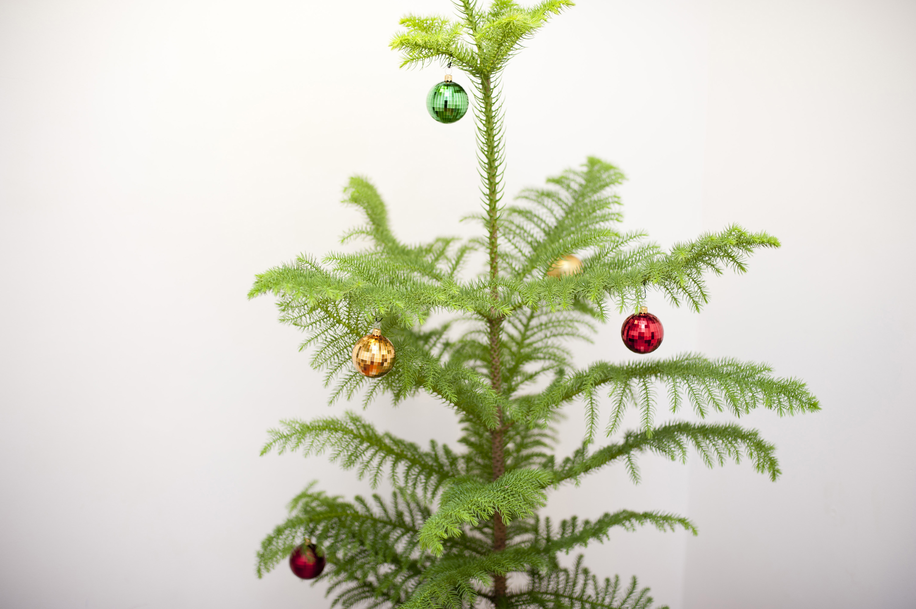 Simple Christmas decorations on a natural evergreen pine tree with colourful baubles hanging on the dainty branches