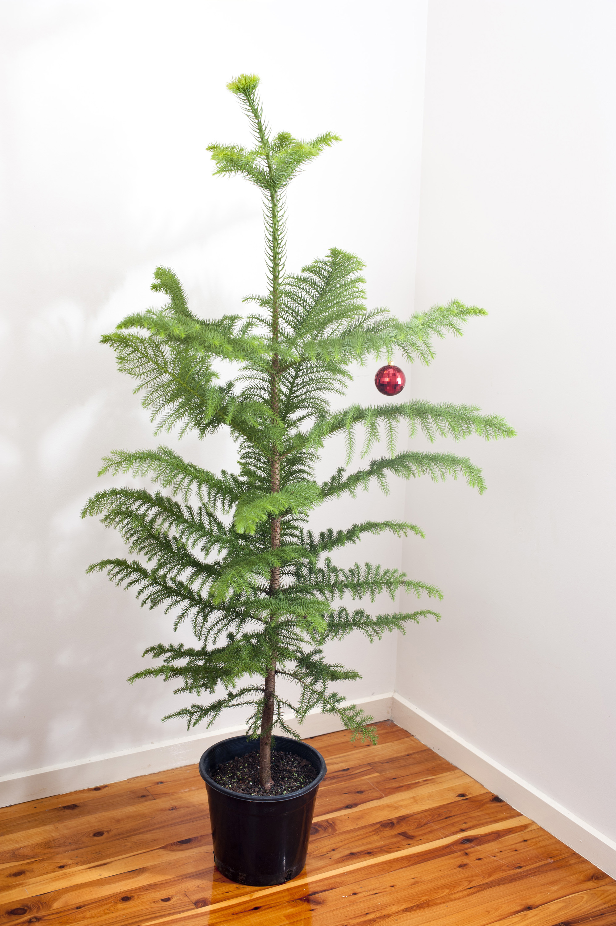 Natural Norfolk pine Christmas tree decorated with a single shiny red bauble standing in the corner of two white walls on a hardwood floor