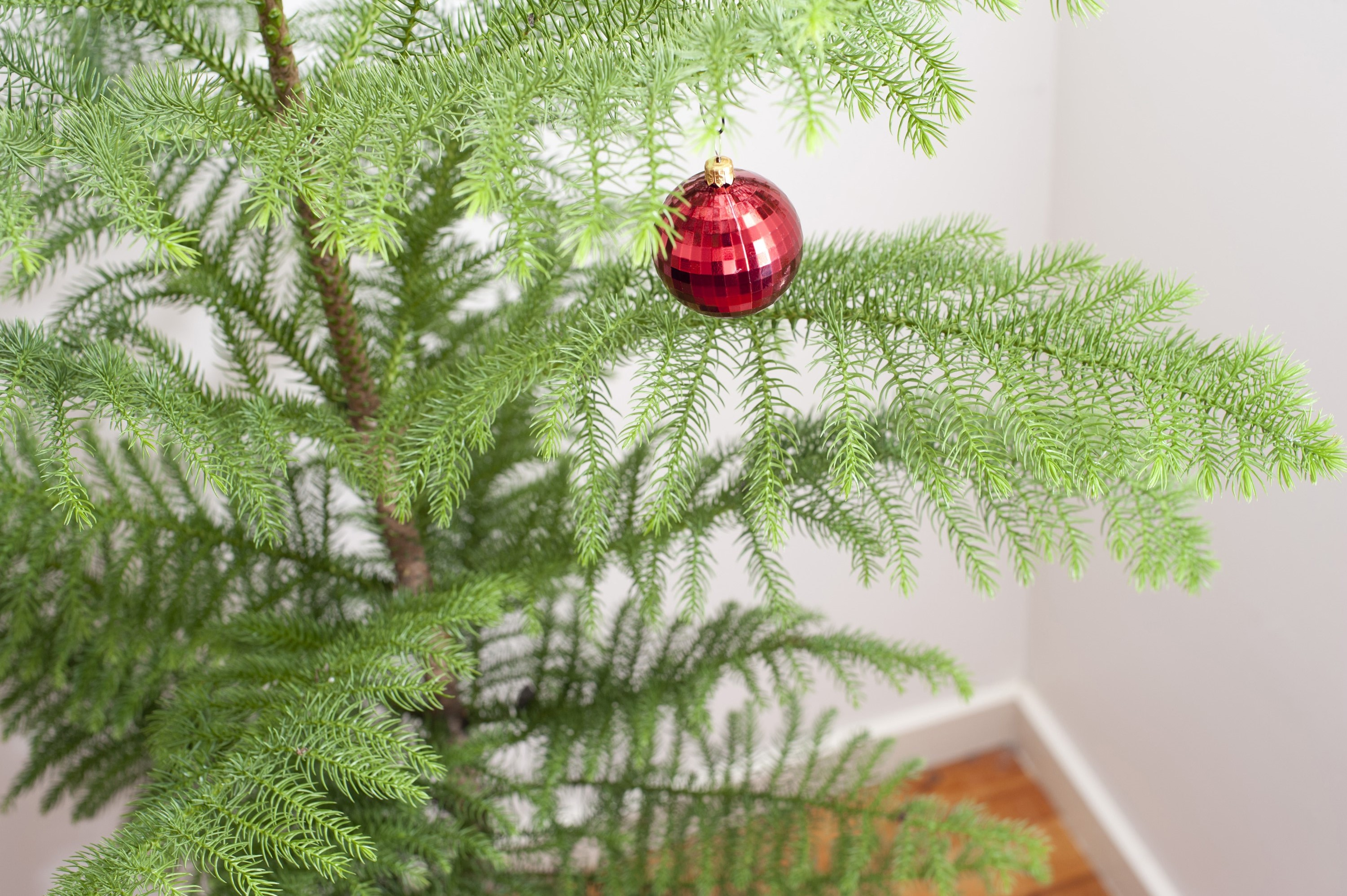 Festive background of a natural pine Christmas tree with a single red bauble hanging from its branches