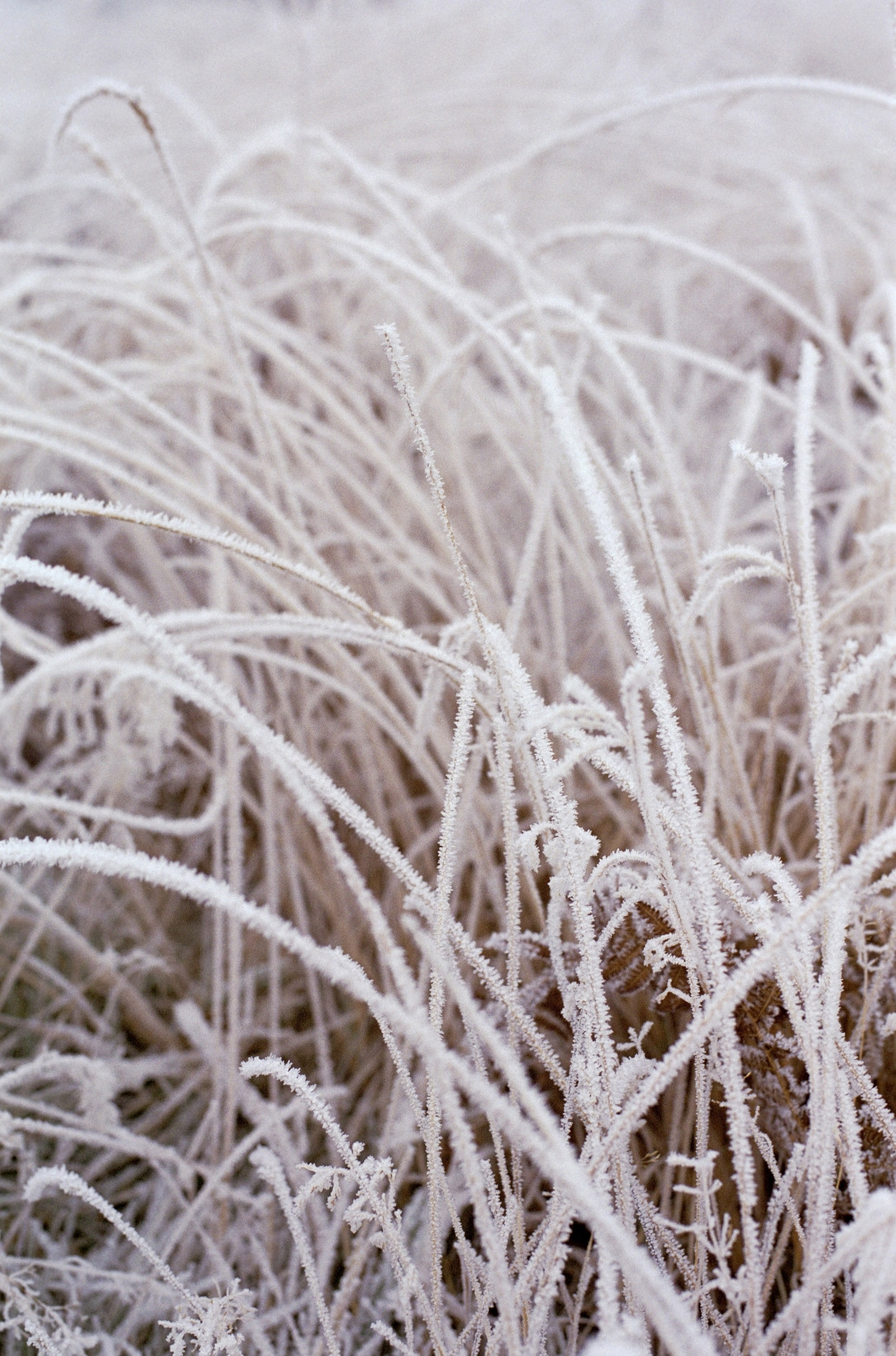long grass on a very cold winter morning covered in frost crystals