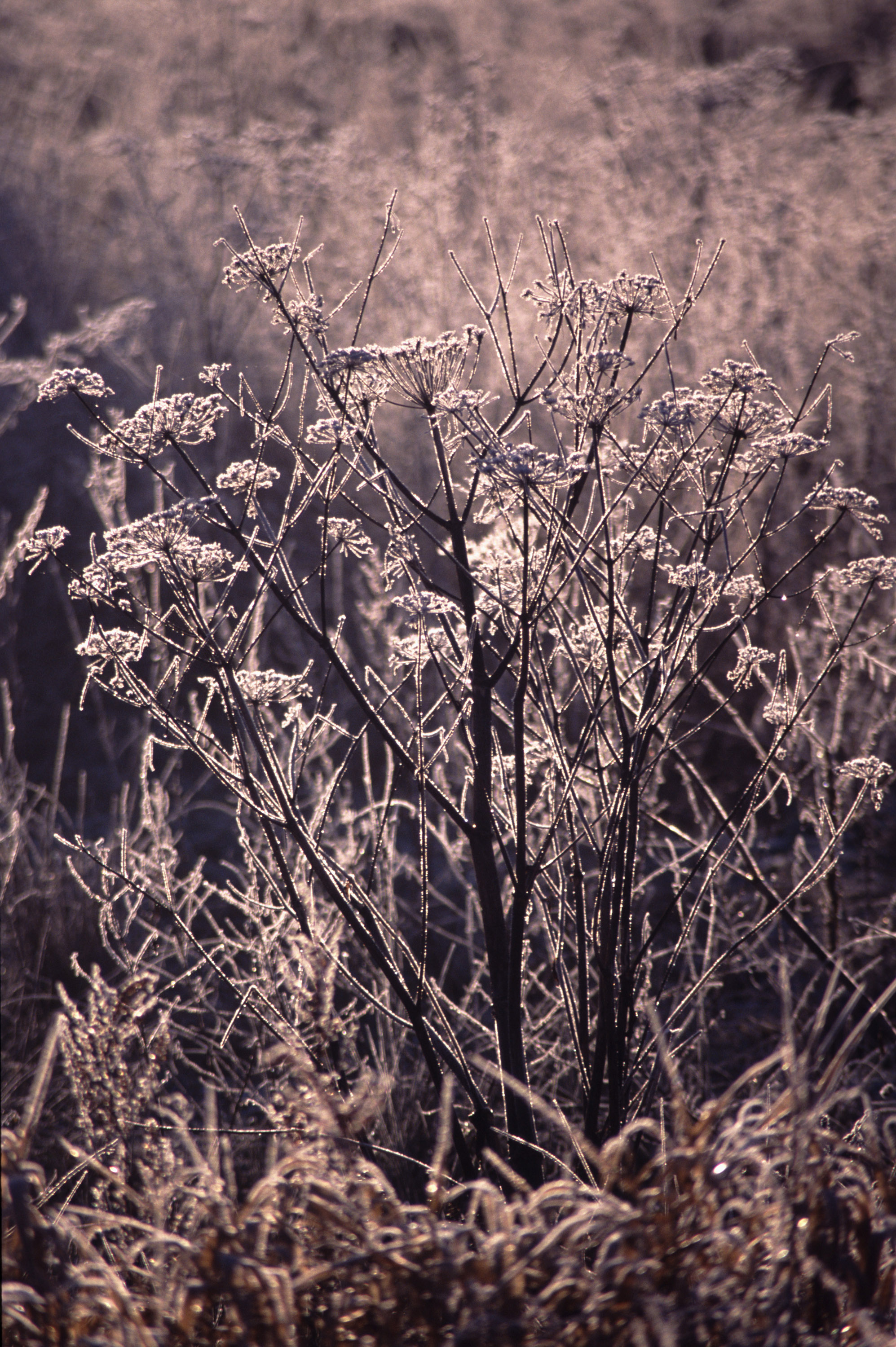 backlit ice crystals on frozen meadow plants glinting in the sun on a cold winter morning