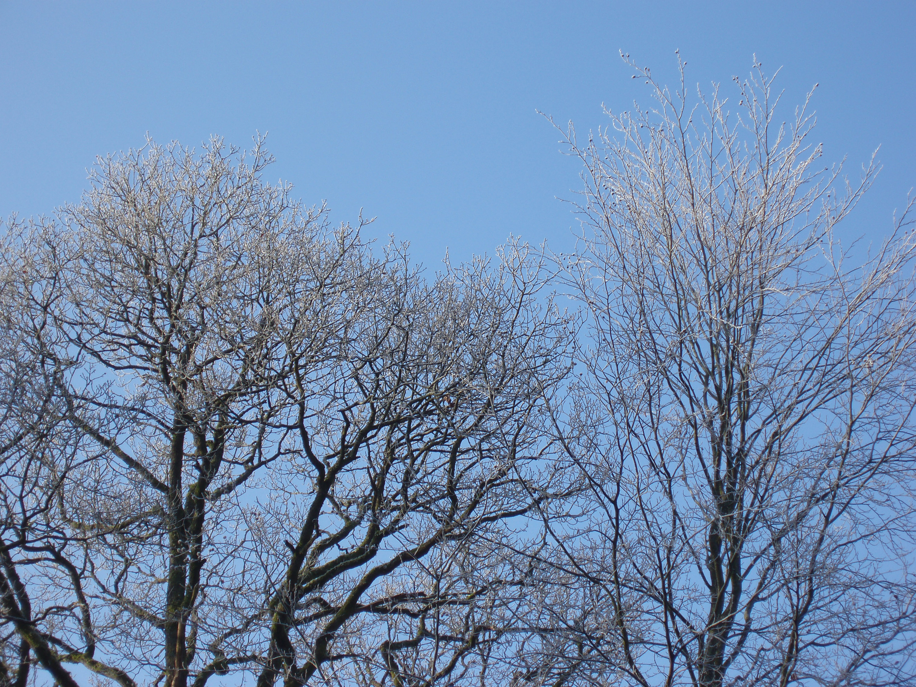 a row of winter trees crovered in white frost
