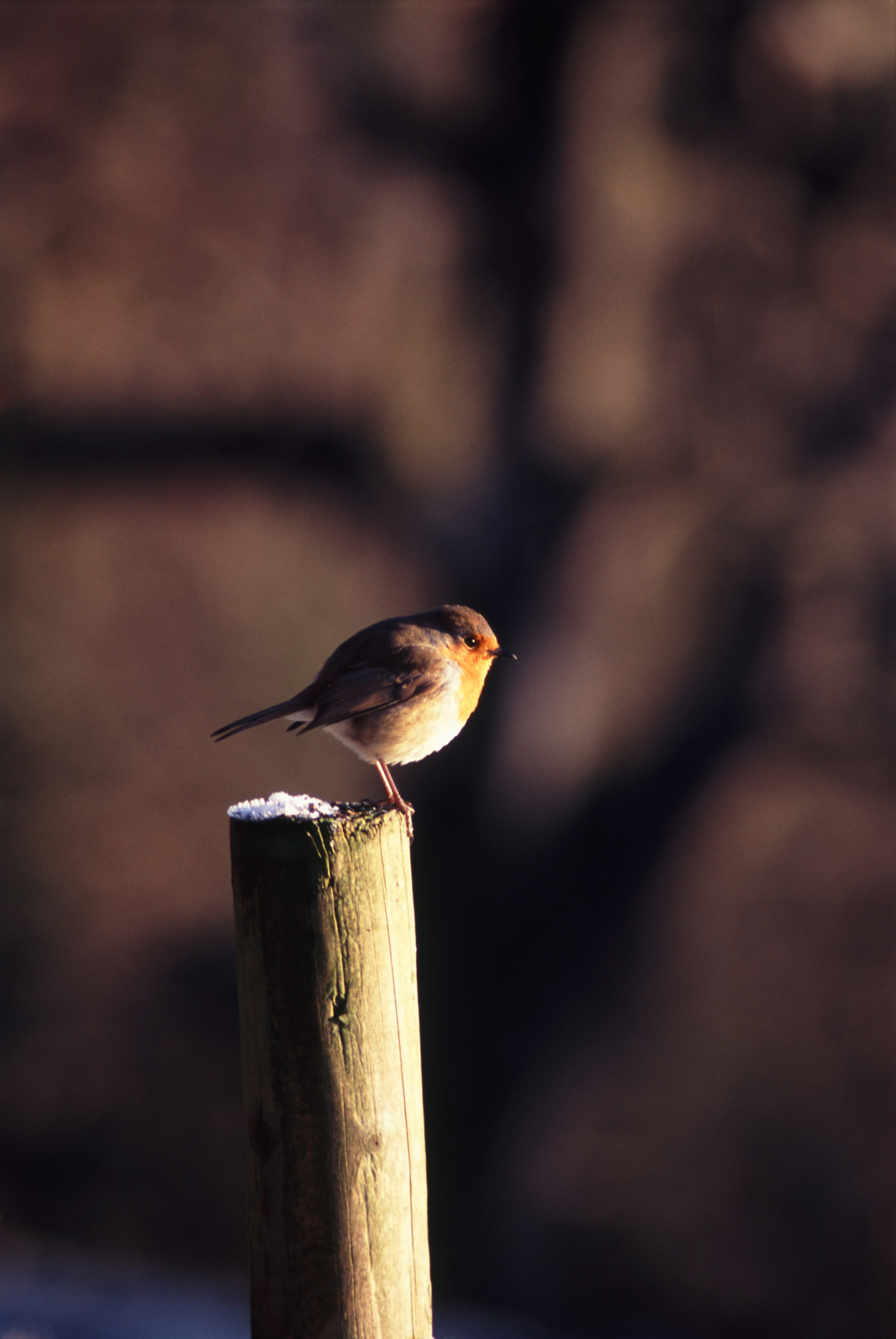 a european robin sat on top of a fence post on a frosty winter morning