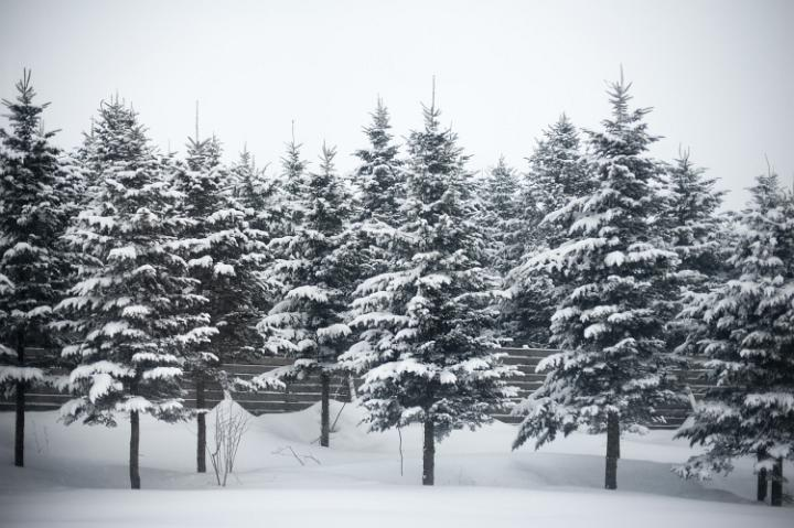 Photo of winter trees free christmas images - Images of pine trees in snow ...