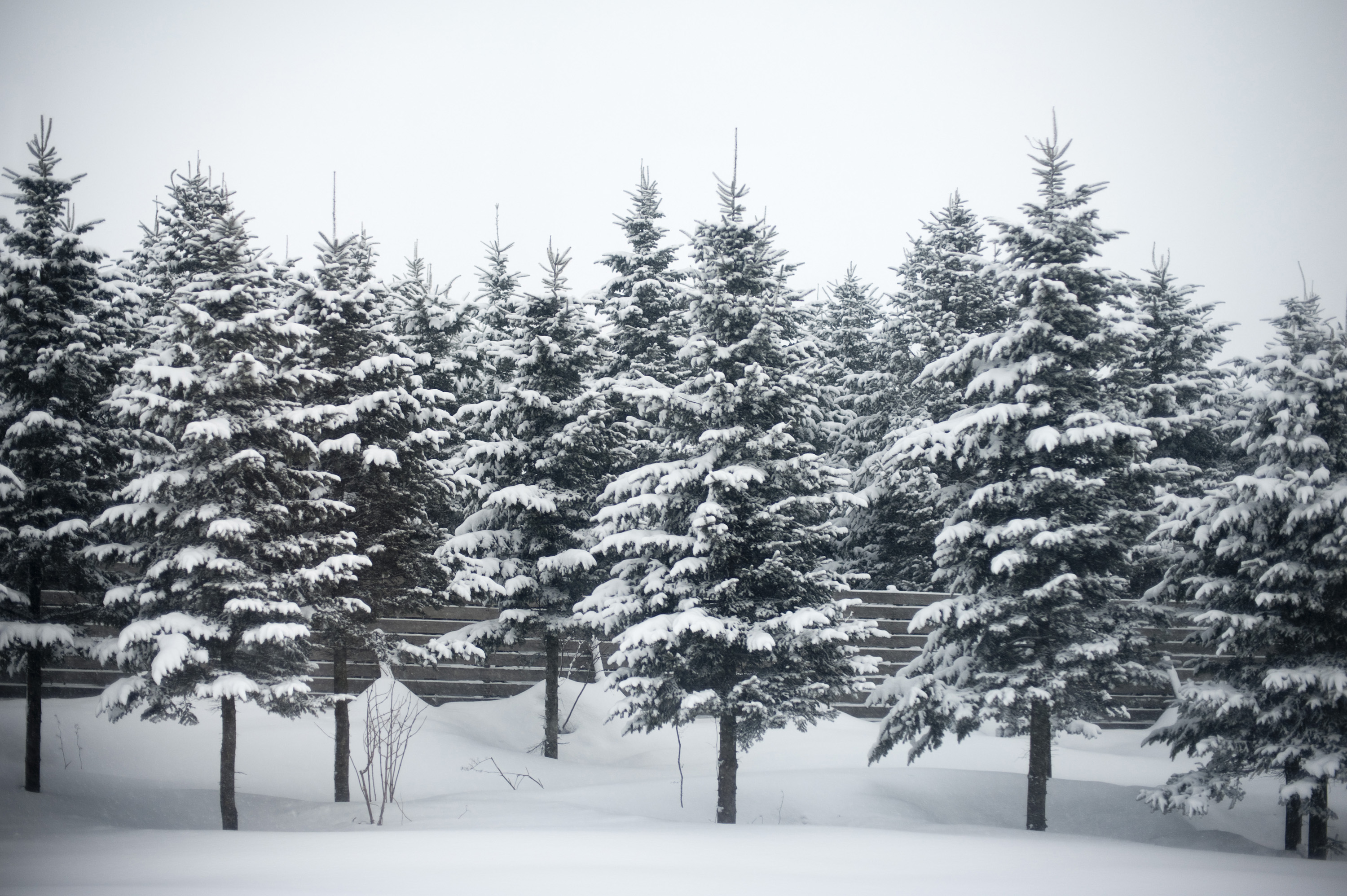 Snow pine trees snow pine trees - Images of pine trees in snow ...
