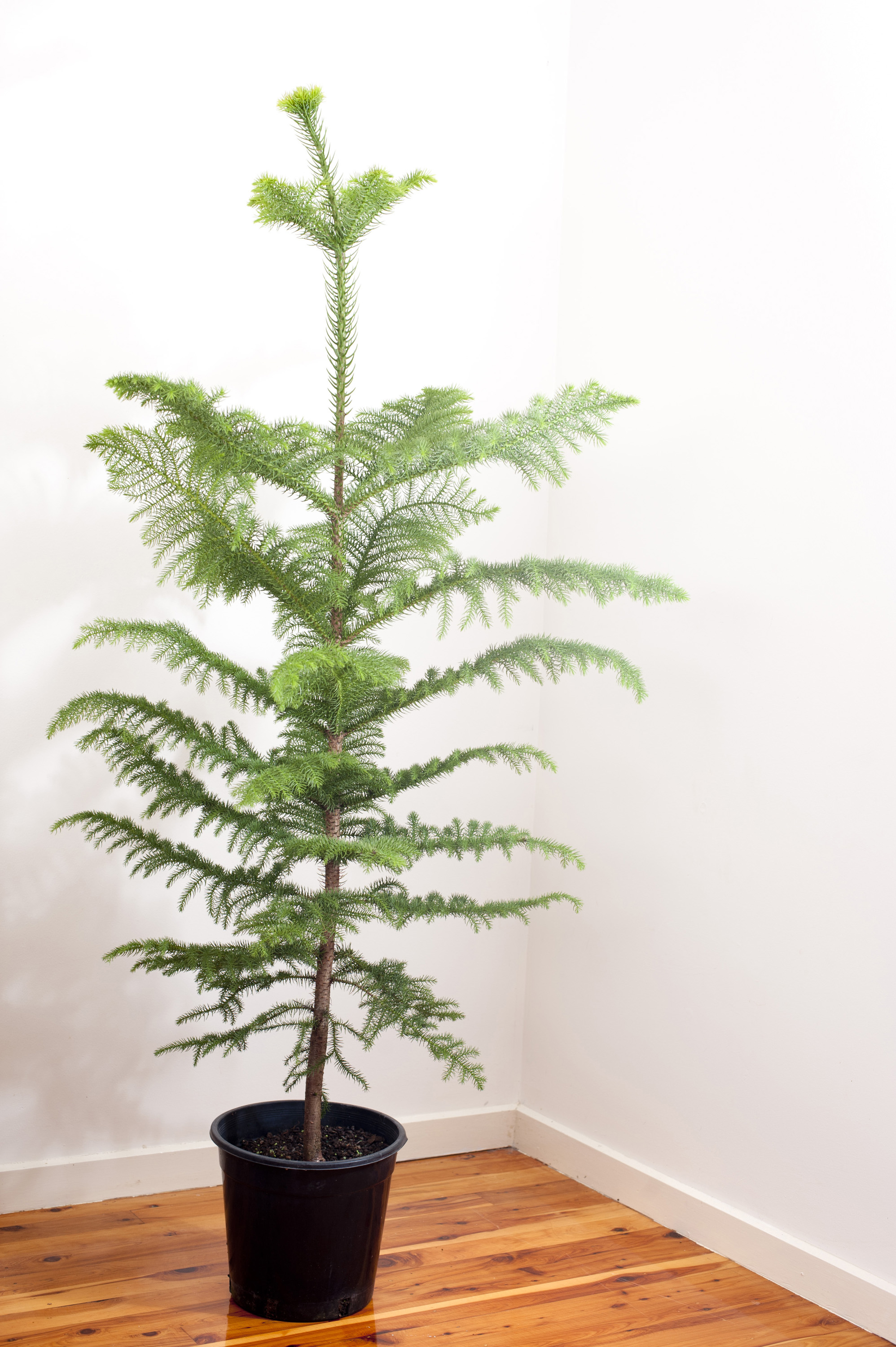 Photo of Undecorated natural norfolk pine Christmas tree | Free ...