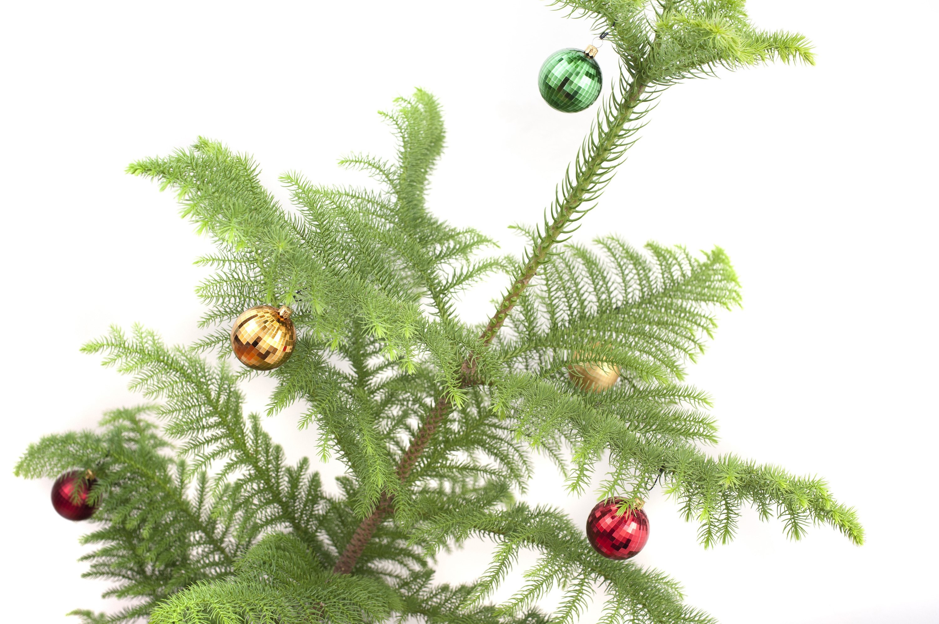 isolated decorated natural evergreen pine christmas tree with colourful baubles hanging on the branches on - Mountain King Christmas Trees