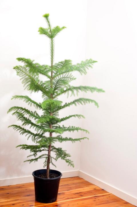 Christmas Trees You Can Plant