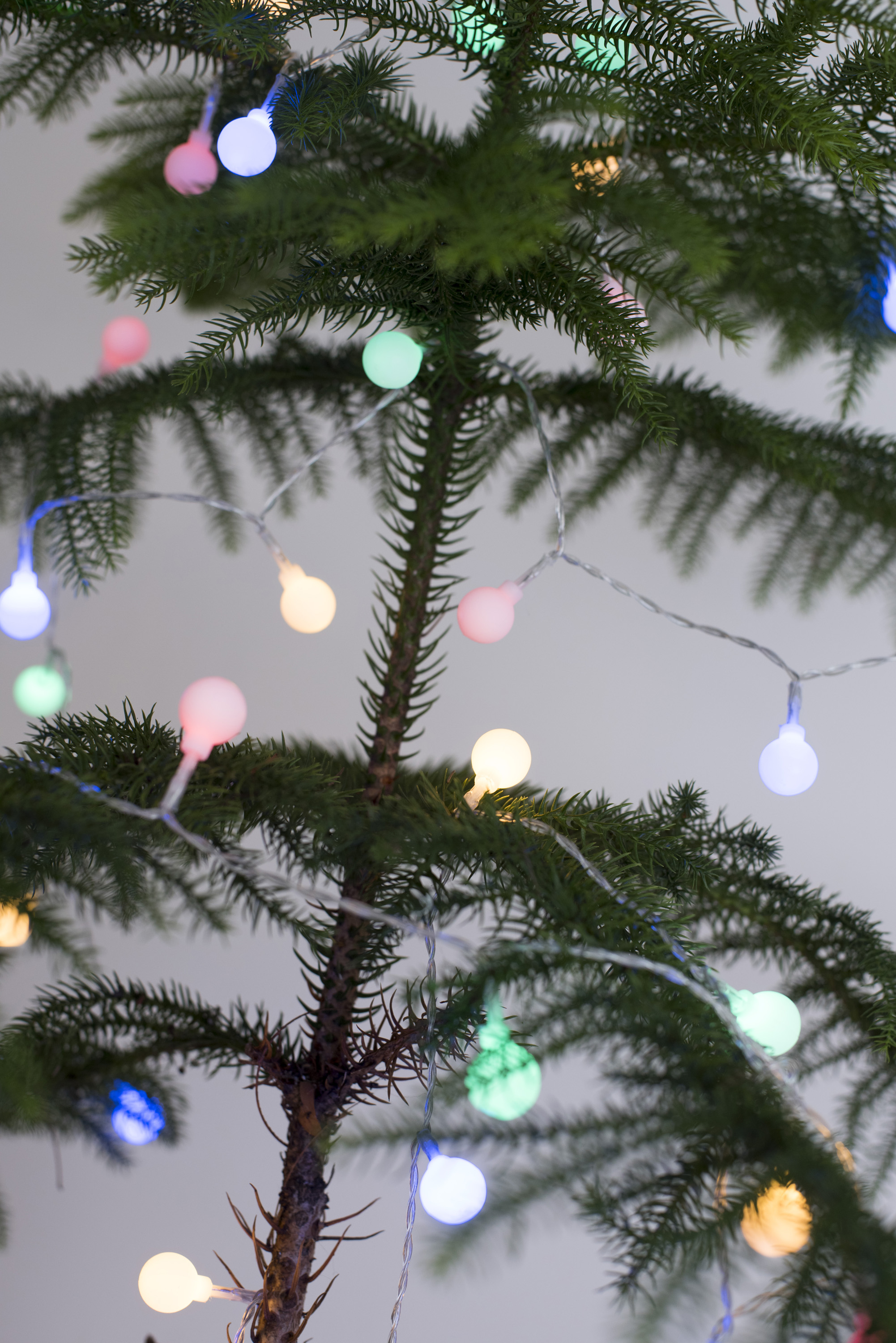 Colorful Shining Christmas Lights On A Natural Evergreen Pine Tree In Close Up View For