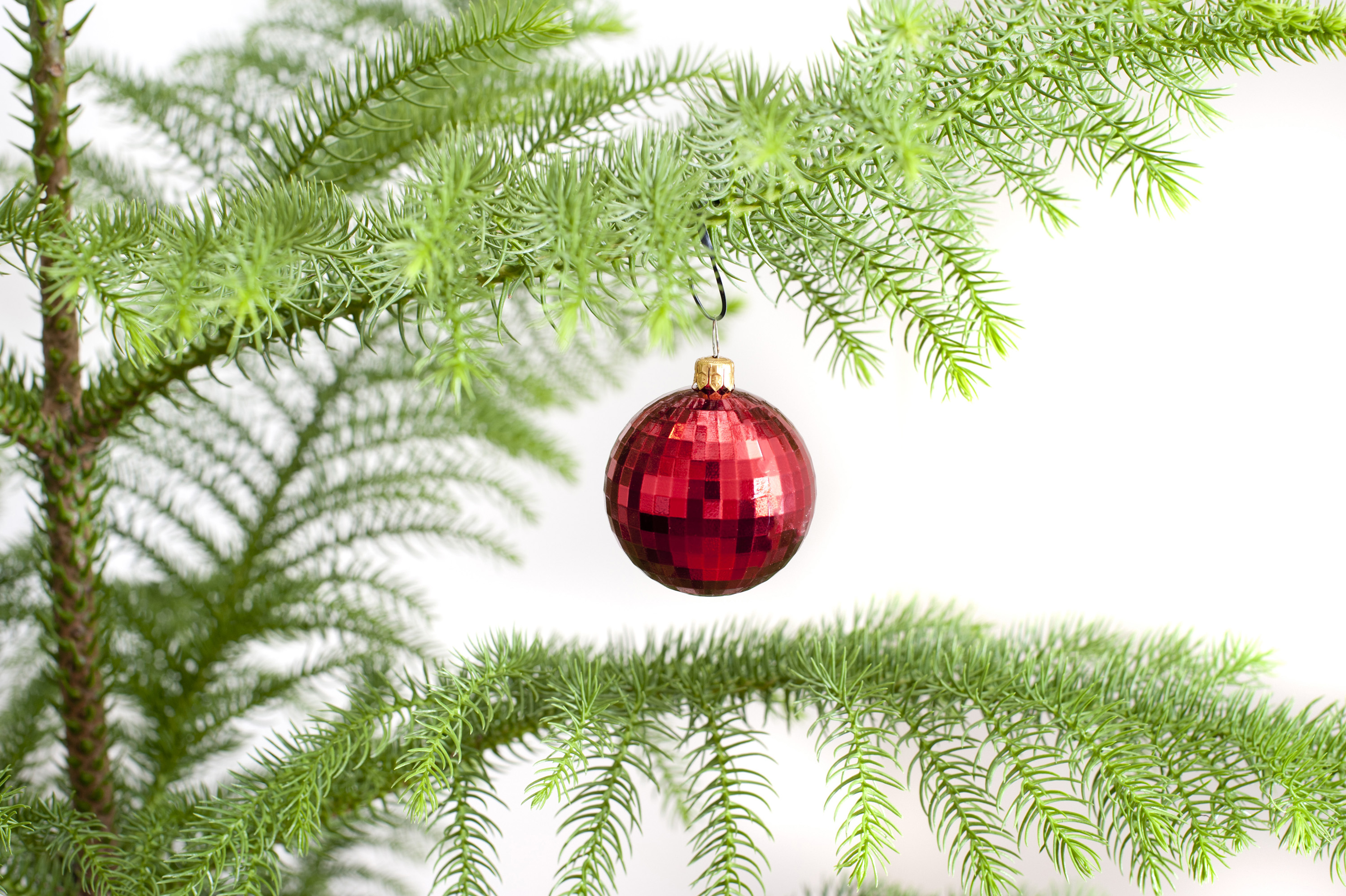 single red bauble hanging on a natural pine christmas tree isolated on white with copyspace for