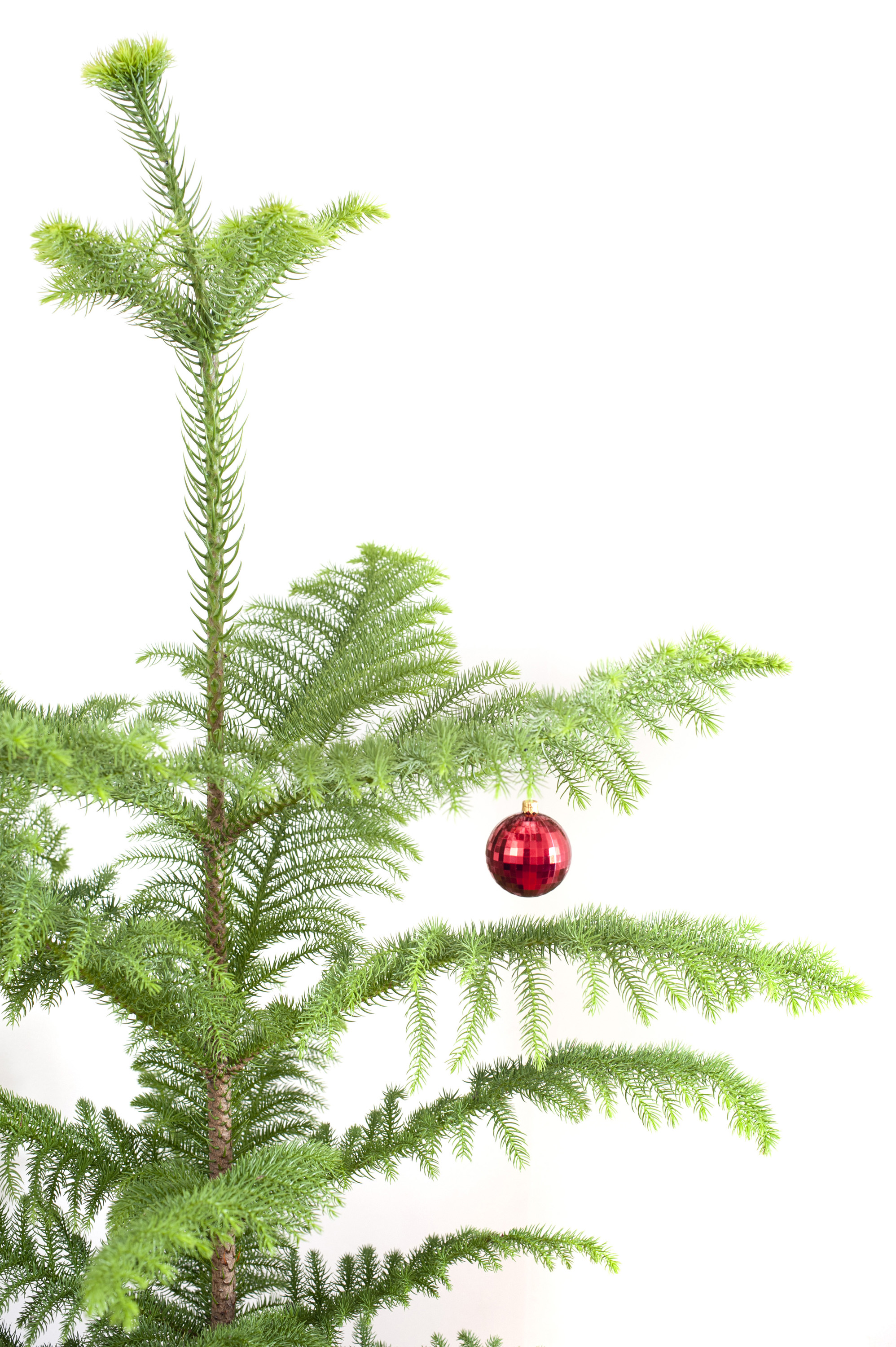 Photo of Evergreen pine Christmas tree with a red bauble | Free ...