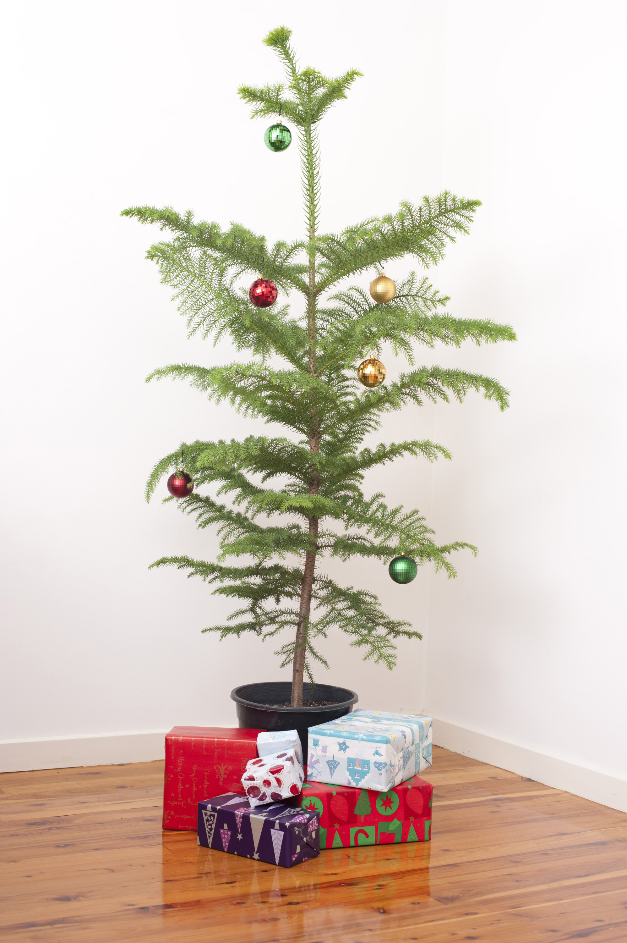 Best Simple Christmas Celebration With A Decorated Potted Norfolk Pine Tree  Hung With Shiny Baubles With A With Small Real Christmas Trees
